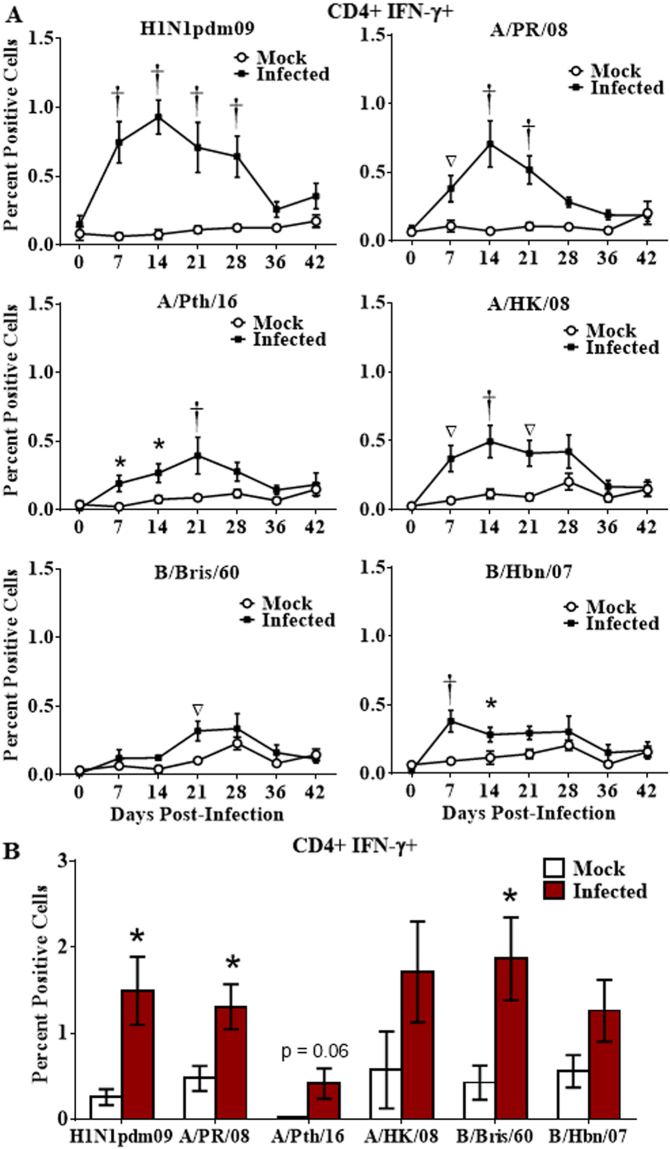 Longevity of the cross-reactive CD4 T cell response. Naïve ferrets were infected intranasally with H1N1pdm09 strain, A/NY/21/2009 (H1N1pdm09, n = 7), or were mock infected (Mock; n = 6). Peripheral blood leukocytes were purified weekly for 6 weeks, and T cell responses assessed by stimulation with a panel of live influenza strains ( A ). Splenocytes were collected 6 weeks post-infection and stimulated with the panel of live influenza strains ( B ). Responding CD4 T cells were assessed for IFN-γ production by flow cytometry. Significance from the mock infected group is indicated by *p