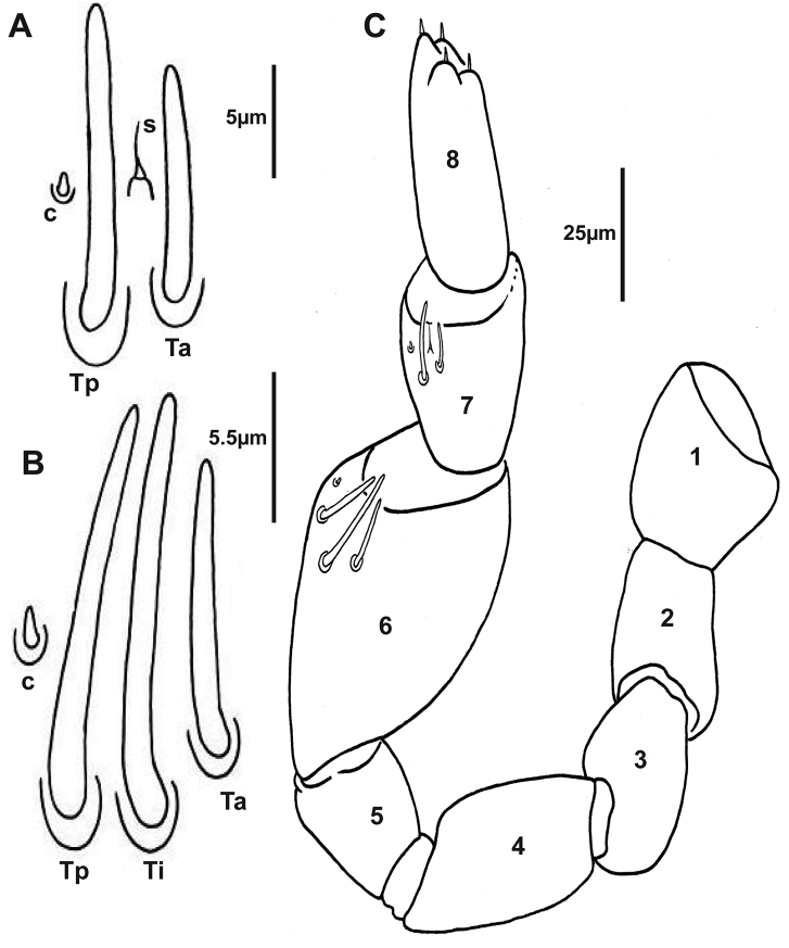 Holotype of Lophoturus molloyensis sp. n. A The arrangement of sensilla on the 7 th antennal article: A conical sensillum ( c ), a long thick sensillum located posteriorly ( Tp ) and a short thick sensillum located anteriorly ( Ta ) with a setiform sensillum ( s ) located between these sensilla B Sensilla on the 6 th antennal article: a conical sensillum ( c ), a medium length thick sensillum located posteriorly ( Tp ) and a long thick sensillum located intermediately ( Ti ) followed the short thick sensillum ( Ta ) C The left antenna with eight articles and the arrangement of sensilla on the 6 th and 7 th articles.
