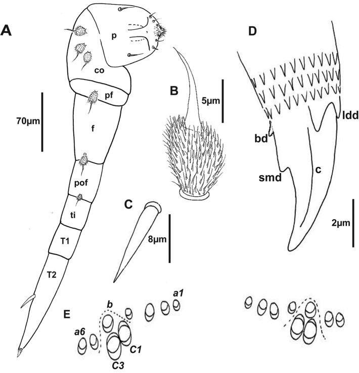 Holotype of Lophoturus molloyensis sp. n. A The second right leg with a penis ( p ), seven leg segments ( c coxa, pf pre-femur, f femur, pof post-femur, ti tibia, T1 tarsus 1, T2 tarsus 2 and a spine), a claw and its chaetotaxy (setae on the leg segments) B A pubescent oval seta C A spine on tarsus 2 D A simple claw structure showing two latero-dorsal denticles ( ldd ), claw ( c ), a basal denticle ( bd ) and a small denticle ( smd ) E The ornamental trichome sockets, which located dorsally above the caudal bundle structure, with six trichomes a , one trichome b and two trichomes c ( c 1 and c 3).