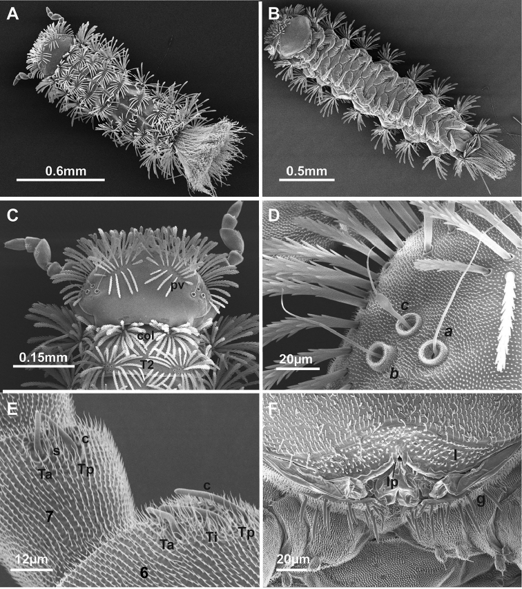 SEM images of Lophoturus molloyensis sp. n. A A dorsal view of whole body showing the body trichome arrangements and the caudal bundle B A ventral view of whole body showing 13 pairs of legs C A head capsule displaying two posterior vertex trichome groups ( pv ), a collum ( col ) and tergite 2 ( T2 ) D The trichobothria: a, b and c , showing different sizes in trichobothrium sockets E Antennal articles 6 and 7 with their sensilla ( Ta : thick sensillum located anteriorly, Ti : intermediate thick sensillum, Tp : posterior thick sensillum, setiform sensillum ( s ) and a conical sensillum ( c ) F Mouth parts with setose labrum ( l ) with typical two linguiform processes ( lp ) and the gnathochilarium ( g ).