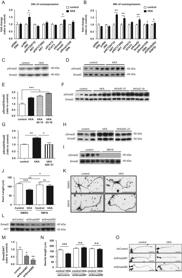 KIAA0319 inhibits axon growth through Smad2 activation. ( A, B ) Quantification of the ratios of phosphorylated/total ERK (pERK/ERK), JNK (pJNK/JNK), AKT (pAKT(S473)/AKT and pAKT(T308)/AKT), STAT3 (pSTAT3/STAT3), Smad2 (pSmad2/Smad2), Smad1/5/8 (Smad1/5/8/AKT), and GSK3β (pGSK3βS9/GSK3) as determined by western blot of CAD cell lysates collected either 24 h ( A ), or 48 h ( B ) after transfection with full-length WT human KIAA0319 (hKA); controls were CAD cells transfected with empty plasmid. ( C, D ) Representative anti-pSmad2 and anti-total Smad2 western blots 24 h ( C ) and 48 h ( D ) post-transfection of CAD cells with full-length WT human KIAA0319 (hKA). ( E–G ) Quantification of pSmad2 and Smad2 48 h post-transfection of CAD cells with either hKA or KIAA0319 mutants lacking the PKD domains (hKAd5-15) ( E ), the whole extracellular domain (hKAd3-18) ( F ), or a KIAA0319 mutant lacking the cytosolic domain (hKAd20-21) ( G ). ( F–H ) Representative western blots of E ( F ) and G ( H ). ( I ) Western blots of pSmad2 and total Smad2 in hippocampal neurons treated either with TGF-βRI inhibitor SM16 (SM16) or with vehicle DMSO (control). ( J ) Quantification of axon length in I ; DMSO (control: n = 83; hKA: n = 64 neurons) or SM16 (control: n = 30; hKA: n = 44 neurons). ( K ) Representative images of βIII-tubulin immunofluorescence of GFP-positive hippocampal neurons transfected with either hKA or empty vector (control) and grown in the presence of SM16 or DMSO. Scale bar, 50 μm. ( L ) Western blot analysis of Smad2 levels in CAD cells transfected with shRNAs against Smad2 (shSmad2#1 and shSmad2#2) or a control plasmid (shControl). ( M ) Quantification of L . ( N ) Quantification of neurite length in CAD cells transfected with a control shRNA or specific shRNAs against Smad2 (shSmad2#1 and shSmad2#2) and overexpressing either KIAA0319 (hKA) or an empty vector (control); shControl (control: n = 143; hKA: n = 186 cells), shSmad2#1 (control: n = 155; hKA: n = 169 cells)