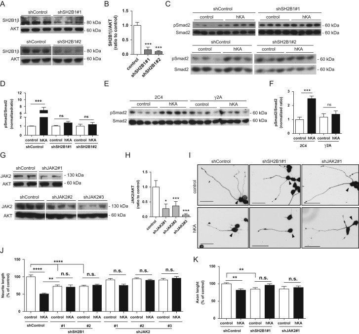 JAK2 and SH2B1β are necessary for KIAA0319-induced activation of Smad2 and inhibition of axon growth. ( A ) Western blot analysis of SH2B1β levels in CAD cells transfected with different shRNA against SH2B1 (shSH2B1#1, upper panel; and shSH2B1#2, lower panel) or a control plasmid (shControl) following puromycin selection. ( B ) Quantification of A . ( C ) Western blot analysis of pSmad2 and total Smad2 levels in CAD cells depleted of SH2B1 (shSH2B1#1, upper panel and shSH2B1#2, lower panel) or transfected with a control shRNA plasmid (shControl) overexpressing either KIAA0319 (hKA) or an empty vector (control). ( D ) Quantification of C . ( E ) Western blot analysis of pSmad2 and Smad2 levels in JAK2-deficient cells (gamma-2-A; γ2A) and in the control parental cell line (2C4) upon overexpression of KIAA0319 (hKA) or an empty vector (control). ( F ) Quantification of E . ( G ) Western blot analysis of JAK2 levels in CAD cells transfected with different shRNA against JAK2 (shJAK2#1, upper panel; shJAK2#2 and shJAK2#3, lower panel) or a control shRNA, following puromycin selection. ( H ) Quantification of G . ( I ) Representative photomicrographs of anti-βIII-tubulin immunofluorescence in differentiated GFP-positive CAD cells (highlighted with an arrowhed) stably transfected with either a control shRNA plasmid (shControl), a shRNA against SH2B1 (shSH2B1#1), or a shRNA against JAK2 (shJAK2#1) and overexpressing either KIAA0319 (hKA) or an empty vector (control). Scale bar, 50 μm. ( J ) Quantification of total neurite length of I ; shControl (control: n = 162; hKA: n = 152 cells), shSH2B1#1 (control: n = 112; hKA: n = 72 cells), shSH2B1#2 (control: n = 201; hKA: n = 149 cells), shJAK2#1 (control: n = 126; hKA: n = 89 cells), shJAK2#2 (control: n = 136; hKA: n = 167 cells) and shJAK2#3 (control: n = 80; hKA: n = 87 cells). ( K ) Quantification of axon length of hippocampal neurons transfected with both hKA and different shRNAs- shControl (control: n = 188; hKA: n = 67 cel
