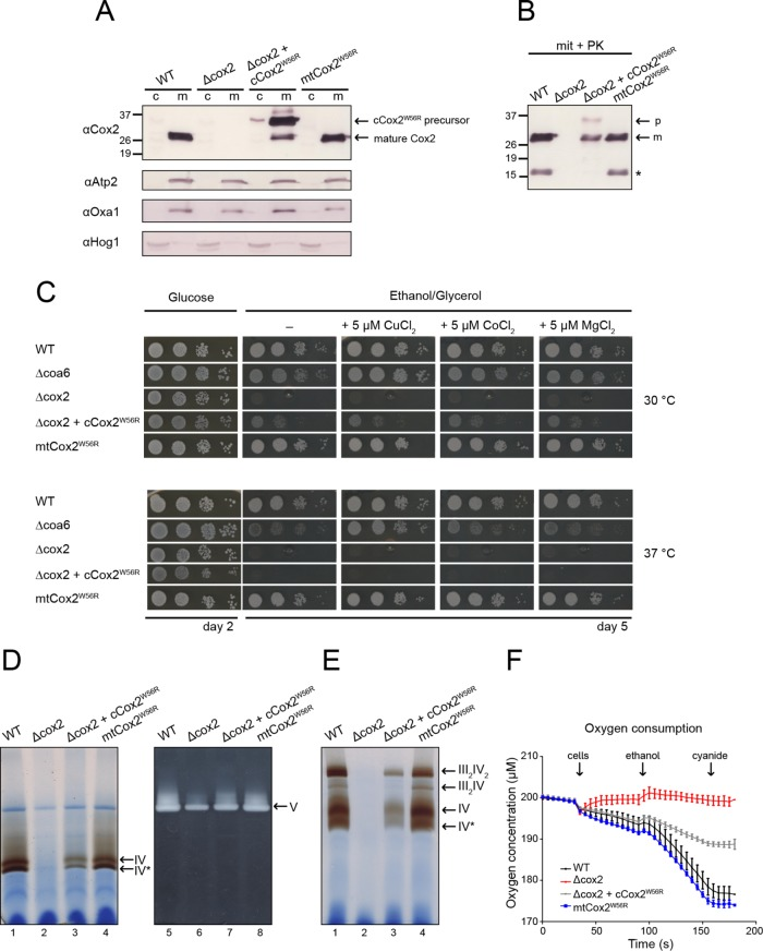 C c O complex activity remains unchanged when the mitochondria-encoded Cox2 subunit contains the W56R mutation. (A) Yeast cytosolic (c) and mitochondrial (m) fractions (100 and 50 µg of protein, respectively) of the indicated strains were separated by SDS-Tricine-PAGE and transferred to nitrocellulose membranes for Western blot analysis with an anti-Cox2 antibody (top panel). Bands corresponding to the mature Cox2 subunits and the cCox2 W56R precursor (still retaining the MTS of Oxa1) are indicated. Parallel Western blots with antibodies against cytosolic Hog1 and against the mitochondrial proteins Atp2 and Oxa1 served as loading and cell fractionation controls (bottom panels). (B) Mitochondrial fractions from A were treated with 100 µg/ml Proteinase K (PK). The asterisk indicates a partial degradation of Cox2, possibly due to imperfect preparation of the mitochondrial fractions. Bands corresponding to the mature Cox2 subunits are indicated (m), as well as that of the remaining precursor (p). (C) Tenfold serial dilutions from yeast cultures were spotted on fermentative (glucose) or on nonfermentative (ethanol/glycerol) plates in the presence and absence of 5 µM Cu, Co, and Mg bivalent salts at 30 and 37°C. A Δcoa6 strain was included as a positive control for growth rescue by copper supplementation. (D) Isolated mitochondria (250 µg) from the indicated strains were solubilized with lauryl maltoside and separated by BN–PAGE (4–15%). Lanes 1–4, C c O in gel activity; lanes 5–8, ATPase activity used as loading control. Bands corresponding to C c O (IV) and the F 1 Fo-ATPase (V) are indicated. Band IV* corresponds to C c O lacking the Cox6 subunit ( Horan et al. , 2005 ). (E) Mitochondria from D were solubilized with digitonin, separated by BN–PAGE (4–15%), and stained for C c O in gel activity. Bands corresponding to C c O and its supercomplexes are indicated. (F) Oxygen consumption of fasted yeast cells. Arrows indicate where 3 × 10 7 cells were added to the oxygen-me
