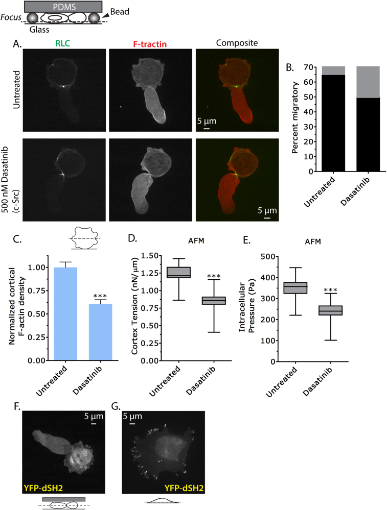 Leader bleb-based migration is resistant to Src inhibition. a Ventral Z-section of an EGFP-RLC- and FusionRed-F-tractin-expressing A375 cell treated with 500 nM Dasatinib 90 min prior to being highly confined. b Quantitative evaluation of ( a ) for the percent migratory (black bars; leader bleb-based) cells with ( n = 15) or without ( n = 38) Dasatinib treatment. c Normalized cortical F-actin density in A375 cells with ( n = 12) or without ( n = 11) Dasatinib treatment as determined by phalloidin staining of the actin cortex. Fluorescence intensity measurements were measured from the central Z-section of cells freshly plated on poly-L-lysine-coated glass. d , e Cortex tension and intracellular pressure of A375 cells with ( n = 27) or without ( n = 28) Dasatinib treatment. Measurements were taken on freshly plated, round, A375 cells on uncoated glass. Intracellular pressures were calculated from cortical tension and cell radii measured by light microscopy. f Central Z-section of a YFP-tagged tandem SH2 domain construct (YFP-dSH2) expressed in a highly confined A375 cell. g Ventral Z-section of a YFP-dSH2 expressing A375 cell on fibronectin-coated glass. All data are representative of at least three independent experiments. Statistical significance was determined by one-way ANOVA. *** p ≤ 0.001