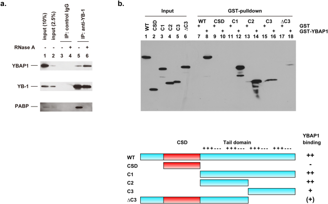 YBAP1 interacts with the C1 and C2 regions of the YB-1 tail domain. ( a ) HeLa cell lysates were treated with (lanes 4 and 6) or without (lanes 3 and 5) RNase A, and subjected to immunoprecipitation with control rabbit IgG (lanes 3 and 4) or rabbit anti-YB-1 antibodies (lanes 5 and 6). Immunoprecipitates and cell lysates (10% of input, lanes 1; 2.5% of input, lane 2) were analyzed by immunoblotting with antibodies against YB-1, YBAP1, and PABP. ( b ) FLAG-tagged YB-1 and its fragments were synthesized in wheat germ extracts and incubated with GST (lanes 7, 9, 11, 13, 15, and 17) or GST-YBAP1 (lanes 8, 10, 12, 14, 16, and 18). Protein complexes were bound to glutathione–Sepharose, and the eluted materials together with the input extracts (lanes 1–6) were analyzed by immunoblotting with anti-FLAG antibodies. Schematic diagrams of the YB-1 fragments are shown at the bottom. +++ and −−− indicate basic and acidic/aromatic amino acid clusters, respectively.