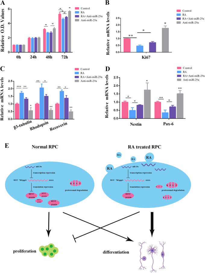RA regulates RPC proliferation and differentiation through miR-29a. a The results of the CCK-8 analysis showed that RA induced RPC proliferation inhibition, and this trend could be partially rescued by the miR-29a inhibitor. b The qPCR analysis showed that the expression of Ki-67 was upregulated in RPCs treated with both RA and the miR-29a inhibitor compared with those only treated with RA. c The expression levels of RPC differentiation markers (β3-tubulin, rhodopsin and recoverin) were increased RA-treated RPC cultures (compared with control cultures), and miR-29a inhibitor partially reversed RA induced RPC differentiation markers upregulation. d Compared with RPCs only treated with RA, the expression levels of <t>nestin</t> and Pax-6 were upregulated in RPCs treated with both RA and the miR-29a inhibitor, according to the qPCR analysis. e A model of the role of <t>REST</t> mediated by RA in the regulation of RPC proliferation and differentiation. RA could directly degrade REST protein through the proteasome and indirectly suppress REST gene expression through the upregulation of miR-29a. Data are the averages of three independent experiments. Error bars indicate the standard deviation of the mean. * P ≤ 0.05, ** P ≤ 0.01, *** P ≤ 0.001 (Student's t -test)