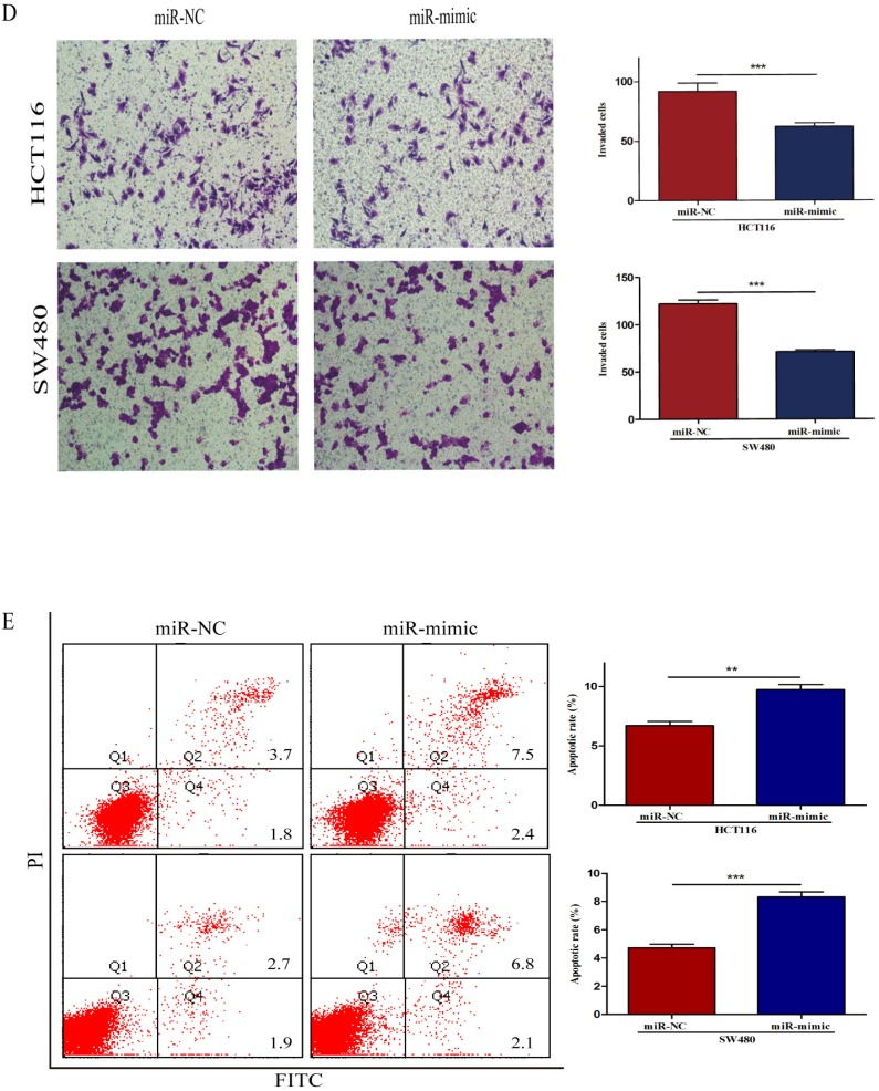 Over-regulated miR-490-3p significantly inhibited the proliferation, migratory, invasion activities and promoted apoptotic rate of CRC cells (HCT116 and SW480). A, miR-490-3p highly expressed in HCT116 and SW480 cells after transfection with miR-mimic. B, <t>CCK-8</t> assay was used to assess the proliferation ability of CRC cells transfected with miR-mimic or NC respectively. C, wound healing assay was used to elucidate the migratory ability of CRC cells transfected with miR-mimic or NC respectively. D, transwell invasion assay was used to assess the invasion ability of CRC cells transfected with miR-mimic or NC respectively. E, flow cytometry analysis was used to assess the apoptotic rate of CRC cells transfected with miR-mimic or NC respectively. * P