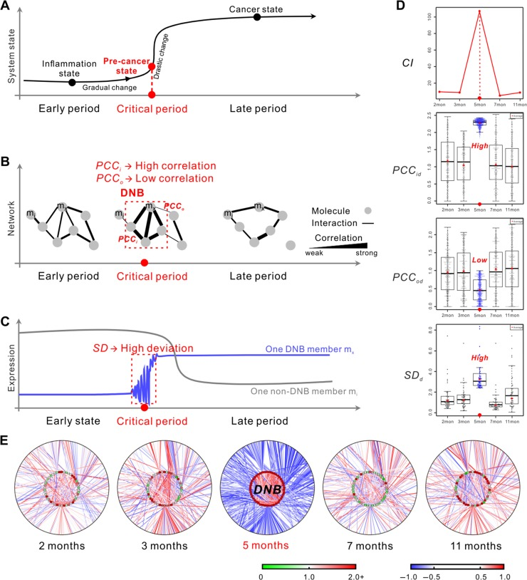 DNB analysis in the critical transition model identifies the critical period from inflammation to HCC based on proteomic data. ( A − C ) Schematic illustrations of DNB method. ( A ) DNB method can identify the pre-cancer state at the critical period, by observing dynamic signals of the corresponding molecules in the dominant group. ( B ) DNB as a network signals the emergence of the critical transition. When the system approaches the pre-cancer state, PCC of molecule-pairs in DNB or dominant group ( PCC i ) increase, while PCC between molecules in this group and others ( PCC o ) decrease. ( C ) When the system approaches the pre-cancer state, DNB members strongly fluctuate or have high SD near the critical transition, compared with other disease-associated molecules. ( D and E ) Results of DNB analysis based on label-free proteomic data of 50 samples. ( D ) This series of diagrams visually show the three key criteria of DNB over five different periods during disease progression. PCC id , PCC od , and SD d are similarly calculated as the definitions of PCC i , PCC o , and SD , after comparing with the corresponding controls. ( E ) This series of networks graphically demonstrate the dynamic changes in the network structure and concentration variations of the identified DNB and DNB-coexpressed proteins. Clearly, DNB members are strongly correlated and fluctuated at the 5th month, which are recognized as the signals of the critical state. SD d is the differential deviation defined as the ratio of SD between transgenic mice and control mice at the same time point. PCC d is the differential correlation defined as the difference in absolute PCCs between transgenic mice and control mice at the same time point.