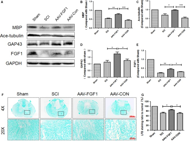 AAV ‐ FGF 1 promoted neuroprotection, axon regeneration and remyelination after spinal cord injury. A, Representative Western blot result of MBP , ace‐tubulin, GAP 43 and FGF 1 at 14 dpi in each group. B‐E, Quantification of Western blot data from A, *** P