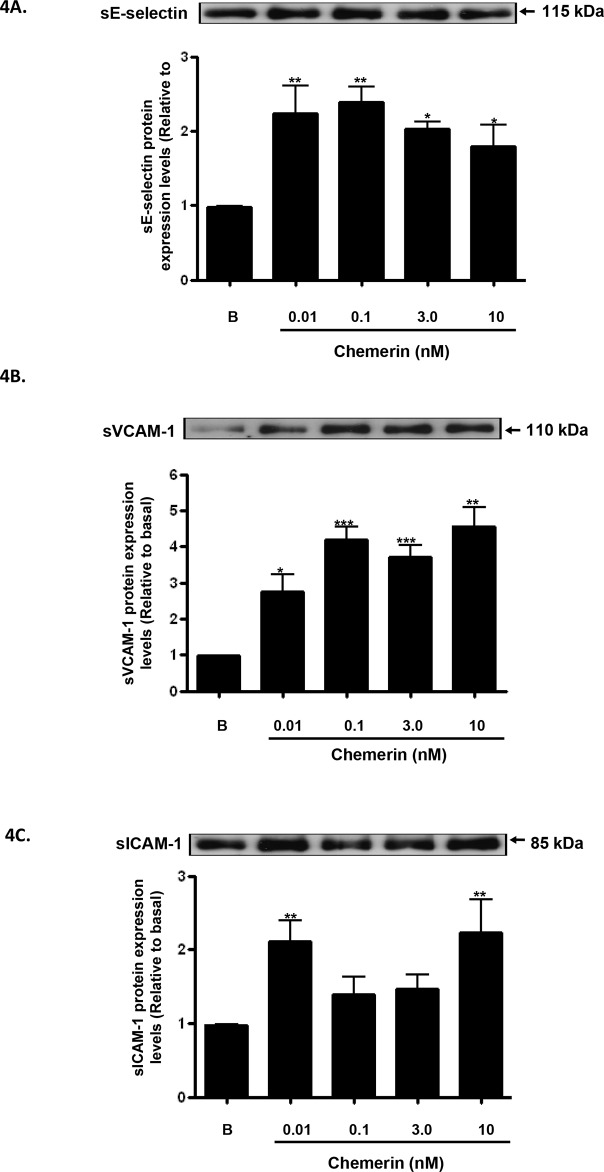 Chemerin increases endothelial cell adhesion molecules protein secretion in HMEC-1 cells Serum starved HMEC-1 cells were treated with chemerin (0-10nM) for 12 hours. Densitometric analysis of western blots (conditioned media) of E-selectin, VCAM-1 and ICAM-1 immune complexes having normalized to β-actin, respectively, showed that secretion of cell adhesion molecules, i.e. E-selectin, VCAM-1 and ICAM-1, were significantly elevated by chemerin in a concentration dependent manner at 12 hours (Figures 4A-4C : * P