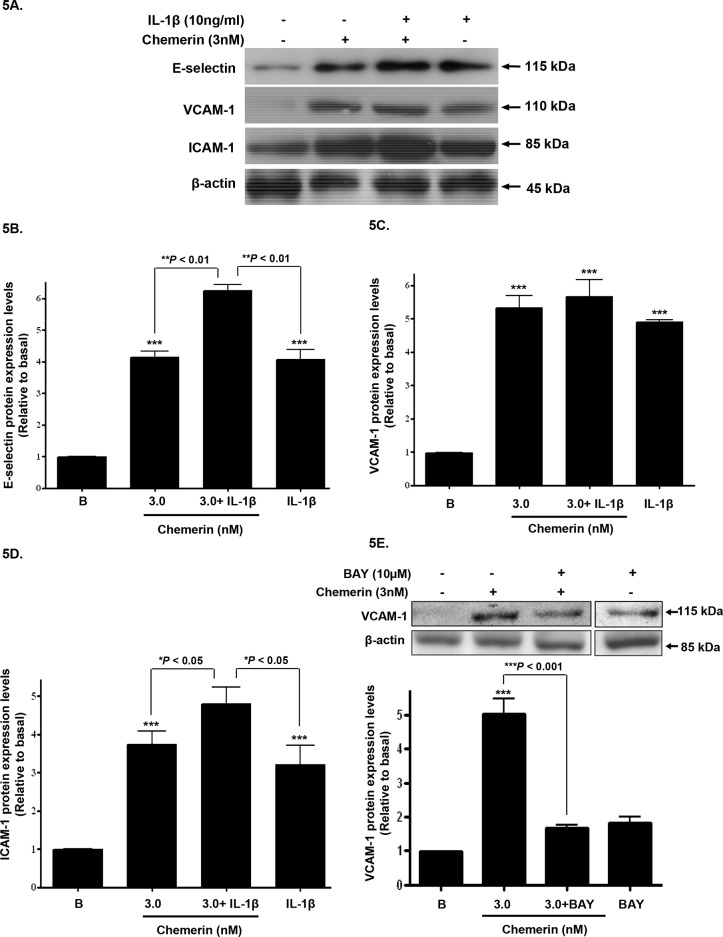 Chemerin and IL-1β co-incubation; synergistic increase in cell adhesion molecule expression Serum starved <t>HMEC-1</t> cells were treated with chemerin (3nM) with or without IL-1β (10ng/ml) for 12 hours. ( A ) Representative western blots of E-selectin, VCAM-1 and ICAM-1 and their respective β-actin. ( B-D ) Densitometric analysis of western blots (cell protein lysates) of E-selectin, VCAM-1 and ICAM-1 immune complexes having normalized to β-actin, respectively, showed that protein expression of cell adhesion molecules, i.e. E-selectin, VCAM-1 and ICAM-1, were synergistically increased when compared to chemerin or IL-1β, alone (Figures 5A-5D: *** P