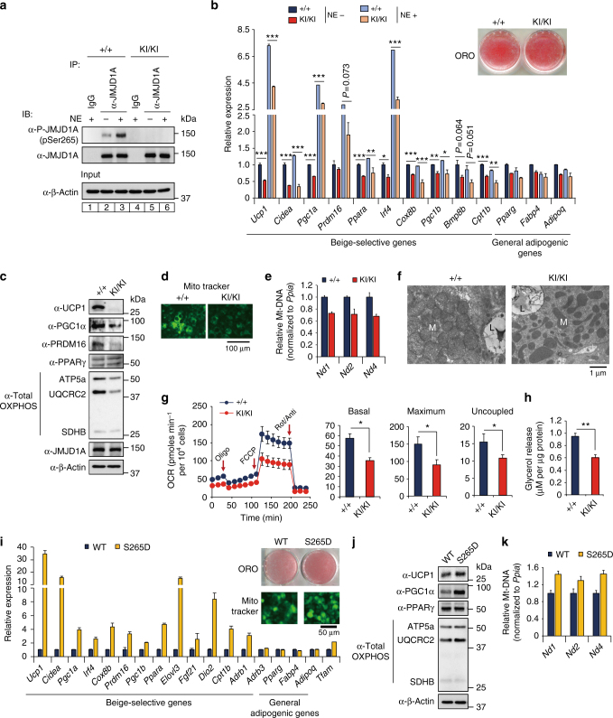 P-JMJD1A cell autonomously induces beige adipogenesis. a pSer265-JMJD1A protein levels in WT (+/+) and S265A knock-in whole-cell lysates (WCL) from scWAT cultures treated with NE or vehicle for 1 h. b Decreased beige-selective gene expressions in S265A knock-in scWAT cultures treated with NE (10 μM) for 2 h (mean ± s.e.m. of three technical replicates). ORO staining of indicated genotype of scWAT cultures (inset). c Immunoblot analysis using anti-UCP1, anti-PGC1α, anti-PRDM16, anti-PPARγ, or anti-total OXPHOS antibodies cocktail, using WCL from WT and S265A knock-in scWAT cultures. d MitoTracker staining in indicated genotype scWAT cultures (scale bar, 100 μm). e Mitochondrial DNA (mt-DNA) contents measured by qPCR in indicated scWAT cultures (mean ± s.e.m. of three independent experiments). f Electron micrographs of indicated genotype of scWAT cultures (bar, 1 μm). Mitochondria (M) and lipid droplets (L) are indicated. g The OCR of indicated scWAT cultures (left). The arrows indicate the time of addition for oligomycin (Oligo), FCCP, and rotenone/antimycin A (Rot/Anti). Basal, maximum, and uncoupled respiration were calculated (mean ± s.e.m. of five technical replicates) (right). h Glycerol release from indicated scWAT cultures after the treatment with NE for 3 h (mean ± s.e.m. of three independent experiments). i Increased expressions of beige-selective genes in S265D-hJMJD1A-transduced im-scWATs (mean ± s.e.m. of three technical replicates). ORO staining and MitoTracker staining (inset) (scale bar, 50 μm). j Immunoblotting with anti-UCP1, anti-PGC1α, anti-PPARγ, or anti-total OXPHOS antibodies cocktail using WCL from indicated im-scWATs. Uncropped images of the blots ( a , c , j ) are shown in Supplementary Fig. 8 . k Mitochondrial DNA content measured by qPCR in indicated im-scWATs (mean ± s.e.m. of three technical replicates). Student's t test was performed for comparisons in b , g , h . * P