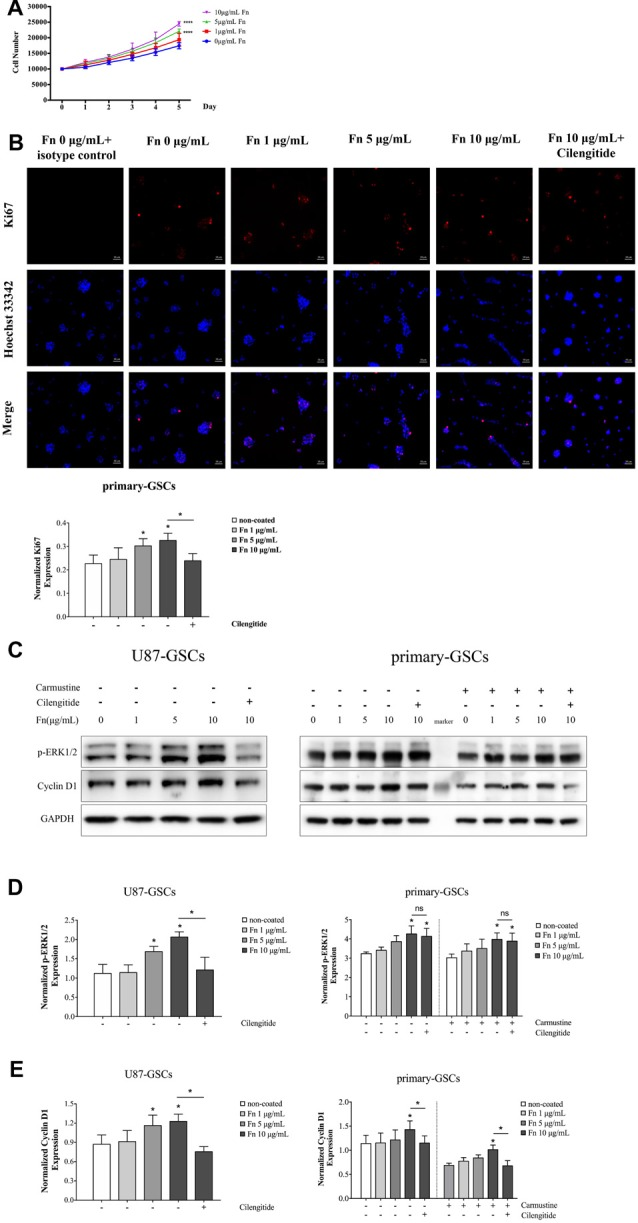 FN upregulated proliferation of GSCs. (A) After U87-GSCs were cultured for 72 h, cells were shown to proliferate when grown on 5 or 10 μg/mL FN. (B) Immunofluorescence staining revealed FN at 5 or 10 μg/mL induced increased expression of Ki-67 by primary-GSCs, indicating FN promoted cell proliferation. Whereas primary-GSCs were detached by cilengitide and Ki67 were decreased markedly comparing to that in the 10 μg/mL FN group. Images were taken at the same exposure settings. Cells grown without FN and stained with isotype control Mouse IG1 were used as a negative control. (C–E) Western blots showed the marked upregulation of p-ERK1/2 and cyclin D1 by U87-GSCs grown on 5 or 10 μg/mL FN. Primary-GSCs showed markedly higher expression of these two proteins when grown on 10 μg/mL FN, with or without carmustine treatment. Cilengitide significantly suppressed both p -ERK1/2 and cyclin D1 expression of U87-GSCs. However, cilengitide only suppressed cyclin D1 expression in primary-GSCs. * p