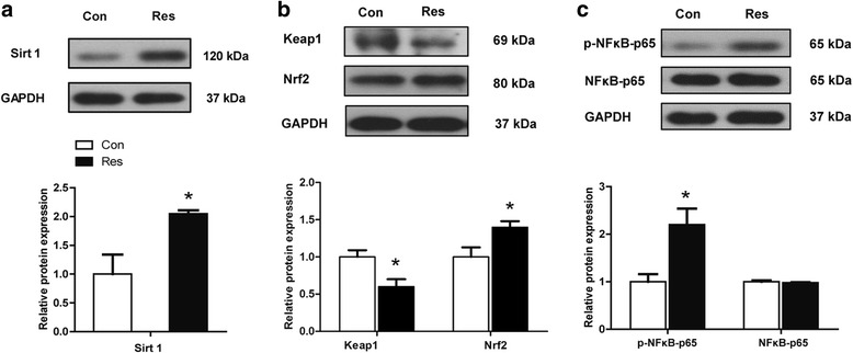 Effects of dietary resveratrol supplementation during gestation and lactation of sows on Sirt1, Nrf2-Keap1, NFκB-p65 and p-NFκB-p65 protein expression in placenta. Con, control treatment; Res, resveratrol treatment; a Sirt1 protein expression; b Keap1 and Nrf2 protein expression; c NFκB-p65 and p-NFκB-p65 (Ser536) protein expression; Con, control treatment; Res, resveratrol treatment; Nrf2, Nuclear factor E2-related factor 2; Keap1, Kelch-like ECH associated protein 1; NFκB, nuclear factor kappa B; p-NFκB, phosphorylated NFκB. All values are expressed as means ± SEM ( n = 6). GAPDH was used as the internal control. * P