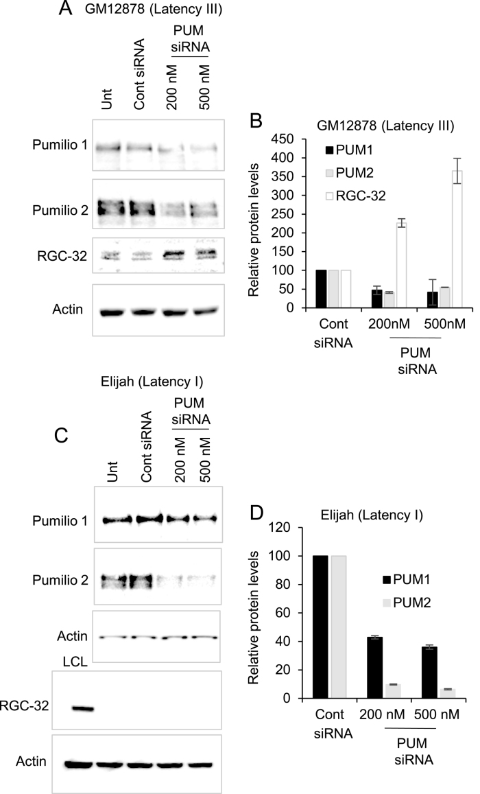 The effect of Pumilio depletion on endogenous RGC-32 expression. ( A ) Silencing of Pumilio 1 and Pumilio 2 expression in the EBV-positive GM12878 LCL (latency III) using 500 nM of non targeting control siRNA or 200 or 500 nM of a mix of Pumilio 1 and Pumilio 2 siRNAs. Cells were harvested 48 h post transfection and analysed by western blotting for Pumilio 1, Pumilio 2, RGC-32 and actin (loading control). ( B ) Quantification of the Western blot results of two independent depletion experiments in GM12878 cells. Pumilio and RGC-32 signals were normalised to the actin control and then expressed relative to the level of expression in the cells transfected with the scrambled siRNA control. Data show the mean ± standard deviation of two independent depletion experiments. ( C ) Silencing of Pumilio 1 and Pumilio 2 expression in the EBV-positive Elijah BL line (latency I) using a mix of siRNAs. Cells were transfected with siRNAs, incubated for 24 h and then re-transfected with more siRNAs and harvested after a further 24 h to achieve optimal depletion. Pumilio 1, Pumilio 2 and actin levels were determined by western blotting. Samples were re-analysed for RGC-32 expression alongside a positive control for RGC-32 expression (LCL). ( D ) Quantification of the western blot results of two independent depletion experiments in Elijah cells as in (B).