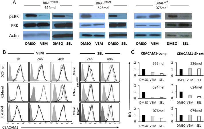 Inhibition of MAPK pathway downregulates CEACAM1 expression. The indicated BRAF mutant or wild-type (WT) melanoma cells were incubated with vemurafenib (VEM), selumetinib (SEL), or control (DMSO). (A) The effect of each treatment on pERK. (B) The effect of different doses of each treatment on CEACAM1 expression, as tested by flow cytometry, in each of the melanoma cell lines, in the indicated time points. Shaded histograms represent staining with secondary reagent only. Black histograms represent treatment with DMSO. Gray and dotted histograms represent treatment with 0.1 μM or 1 μM, respectively, of VEM or SEL. (C) The effect of each treatment on CEACAM1 isoform expression (long, short) using RT-PCR. Results are depicted as fold change (RQ) of the DMSO control. Figure shows a representative experiment out of three performed.