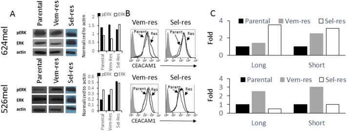 Resistance to inhibitors of the MAPK pathway restores CEACAM1 expression. Vemurafenib-resistant (Vem-Res) and selumetinib-resistant (Sel-Res) sublines of 624mel and 526mel cells were tested. (A) The restored expression of pERK. The graph shows the ratio of each indicated protein as normalized according to actin using densitometry. (B) The restored expression of CEACAM1 using flow cytometry. Shaded histograms represent staining with secondary reagent only. Parental (Parent.) and resistant (Res) histograms are indicated in each panel. (C) The effect of each treatment on CEACAM1 isoform expression (long, short) using. RT-PCR. Results are depicted as fold change (RQ) of the parental cell control. Figure shows a representative experiment out of three performed.