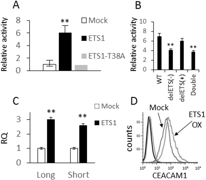 ETS1 upregulates the expression of CEACAM1. (A) CEACAM1 promoter was cloned upstream to firefly luciferase and co-transfected with a normalizing construct of Renilla luciferase, together with a vector encoding for ETS1 (ETS1), mutated ETS1 (ETS1-T38A), or an empty vector (Mock). Relative promoter activity was calculated relative to the effect of transfection with Mock vector. (B) Wild type (WT) or deletions in the putative ETS1 binding site in the negative strand (delETS1(−)), positive strand (delETS1(+)), or both (double) of the CEACAM1 promoter were cloned upstream to firefly luciferase and co-transfected with a normalizing construct of Renilla luciferase, together with a vector encoding for ETS1 (ETS1) or an empty vector (Mock). Data shown are normalized to Mock. (C) The effect of ETS1 (ETS1) compared to an empty vector (Mock) on CEACAM1 isoform (long, short) expression following transfected into melanoma was tested at the mRNA level using RT-PCR. (D) CEACAM1 expression was tested at the protein level using flow cytometry. The histograms of each of the transfectants are indicated in the figure. (A-C) The average results of three independent experiments. Significance was tested with Student's t test, ** depicts P value of