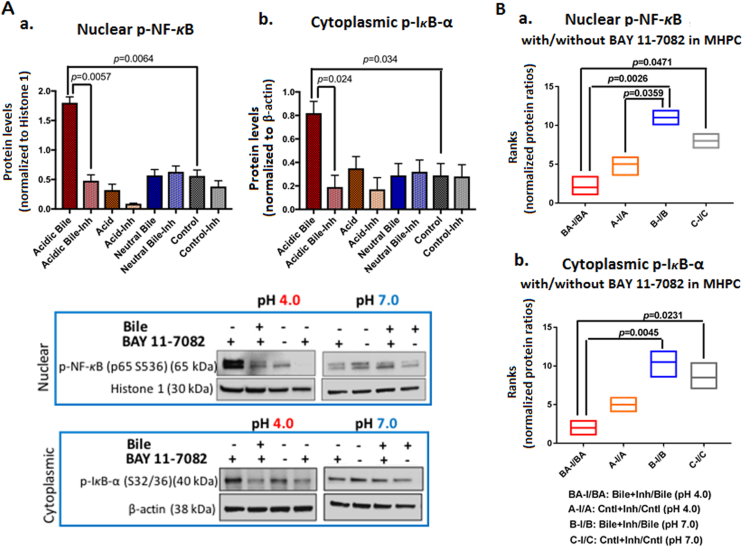 BAY 11-7082 inhibits the acidic bile–induced NF- κ B activation in MHPC. (A) Western blot analysis was performed in nuclear and cytoplasmic protein extracts of treated MHPC with and without BAY 11-7082, demonstrating that NF- κ B inhibitor induced a significant reduction of activated NF- κ B. Graphs depict significantly lower (a) nuclear p-NF- κ B (p65 S536) and (b) cytoplasmic p-I κ B-α (Ser32/36) levels in acidic bile–treated groups (pH 4.0) ( P values by t test; multiple comparisons by Holm-Sidak; GraphPad Prism 6.0) (Nuclear p-NF-κB protein levels were normalized to Histone 1; cytoplasmic p-IκB-α and bcl-2 protein levels were normalized to β-actin). (B) Graphs created by Graph Pad Prism 6.0 software reveal ranks of BAY 11-7082–induced (a) nuclear p-NF-κB(p65 S536) and (b) cytoplasmic p-IκB-α (Ser32/36) protein ratios (with/without NF-κB inhibitor) between experimental and control treated groups. Acidic bile (pH 4.0)–treated MHPC demonstrates the most significant reduction of activated NF- κ B and p-IκB-α protein levels in the presence of ΒΑΥ 11-7082 ( P