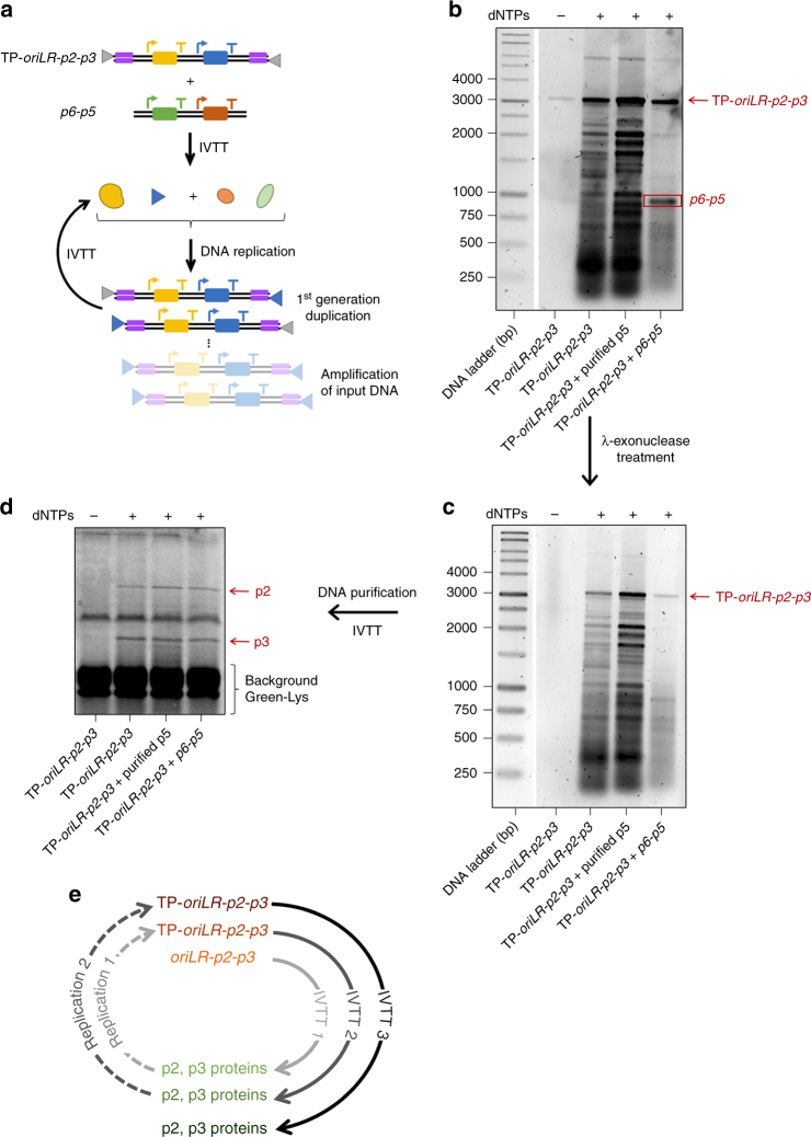 Potentiating DNA self-replication with 5′-end pre-bound TP. a IVTTR reaction scheme using the TP- oriLR-p2-p3 DNA template. Short amplification products are not represented. The detailed experimental workflow, including preparation of the TP- oriLR-p2-p3 DNA, is shown in Supplementary Fig. 12a . b The replication products of the TP- oriLR-p2-p3 DNA template (∼75 ng input, equiv. ∼1.9 nM) expressed in PURE frex were visualized on agarose gel after RNase and <t>Proteinase</t> K treatments, followed by RNeasy clean-up column purification. When indicated the p6-p5 DNA (70 ng input, equiv. ∼5.7 nM) was co-expressed. The results from two independent IVTTR experiments are shown in Supplementary Fig. 12c, f . For direct comparison of the amplification yield with and without parental TP, similar amounts of input DNA were used, the end-point reaction solutions were loaded on the same gel and the band intensities were analysed (Supplementary Fig. 13 ). Clearly, replication of the TP- oriLR-p2-p3 DNA template is more efficient. c Samples were further incubated with λ-exonuclease to remove TP-uncapped DNA. Note that the overall amount of DNA on the gel is reduced (to the extent that the band corresponding to the input TP- oriLR-p2-p3 DNA in the –dNTPs control sample is no longer visible) after nuclease treatment due to dilution during the cleaning/purification steps. d De novo synthesized DNA was subsequently used as a template for a third IVTT reaction. The translation products were visualized by PAGE with GreenLys labeling. The protein gel analysis from an independent IVTTR experiment is shown in Supplementary Fig. 12d . e Autocatalytic IVTTR cycles realized in this study. A first IVTTR reaction was performed using oriLR-p2-p3 as input DNA and producing larger amount of TP- oriLR-p2-p3 (Supplementary Fig. 12b, e ). The purified TP- oriLR-p2-p3 DNA was subsequently used as template for a second IVTTR ( b ). Finally, the purified DNA products from IVTTR 2 was used for a third IV