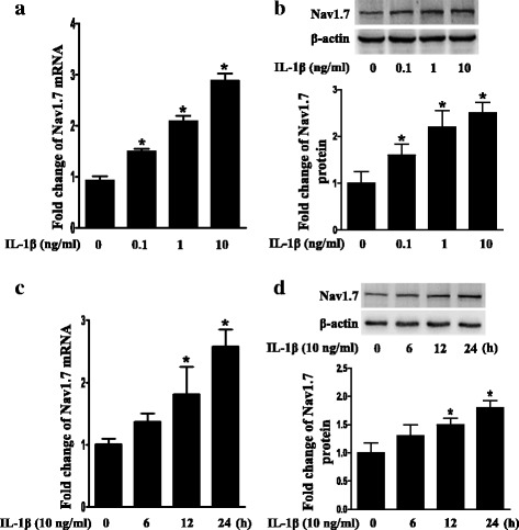 Upregulation of Nav1.7 expression in TG explants after treatment with IL-1β. a Dose-course of Nav1.7 mRNA expression in TG after treatment with IL-1β (0.1 to 10 ng/mL) for 24 h. b Dose-course of Nav1.7 protein expression in TG after treatment with IL-1β (0.1 to 10 ng/mL) for 24 h. c Time-course of Nav1.7 mRNA expression in TG after treatment with IL-1β (10 ng/mL). d Time-course of Nav1.7 protein expression in TG after treatment with IL-1β (10 ng/mL). Quantification of Nav1.7 protein expression was presented as fold change of the control group (lower panel). One-way ANOVA, * P