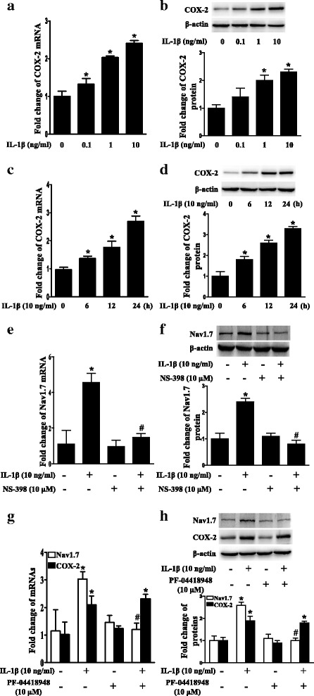 Upregulation of Nav1.7 expression by IL-1β was dependent on COX-2/PGE2/EP2 in TG explants. a Dose-course of COX-2 mRNA expression in TG after treatment with IL-1β (0.1 to 10 ng/mL) for 24 h. b Dose-course of COX-2 protein expression in TG after treatment with IL-1β (0.1 to 10 ng/mL) for 24 h. c Time-course of COX-2 mRNA expression in TG after treatment with IL-1β (10 ng/mL). d Time-course of COX-2 protein expression in TG after treatment with IL-1β. (E) IL-1β-induced upregulation of Nav1.7 mRNA expression in TG was blocked by COX-2 selective inhibitor NS398. f IL-1β-induced upregulation of Nav1.7 protein expression in TG was blocked by COX-2 selective inhibitor NS398. g EP2 selective antagonist PF-04418948 blocked upregulation of Nav1.7 mRNA expression, but not COX-2 mRNA expression in TG after treatment with IL-1β. h EP2 selective antagonist PF-04418948 blocked upregulation of Nav1.7 protein expression, but not COX-2 protein expression in TG after treatment with IL-1β. Quantification of protein expressions were presented as fold change of the control group (lower panel). One-way ANOVA, * P