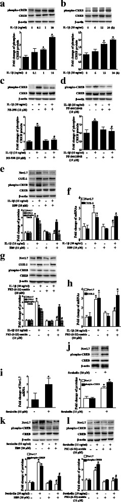 IL-1β upregulated Nav1.7 expression through the EP2-evoked PKA/CREB signaling pathway in TG explants. a Dose-course of phospho-CREB protein expression in TG after treatment with IL-1β (0.1 to 10 ng/mL) for 24 h. b Time-course of phospho-CREB protein expression in TG after treatment with IL-1β. c Upregulation of phospho-CREB protein expression by IL-1β in TG was blocked by COX-2 selective inhibitor NS398. d Upregulation of phospho-CREB protein expression by IL-1β in TG was blocked by EP2 selective antagonist PF-04418948. e PKA inhibitor H89 blocked IL-1β-induced upregulation of Nav1.7 and phospho-CREB protein expressions, but not COX-2 protein expression in TG. f PKA inhibitor H89 blocked IL-1β-induced upregulation of Nav1.7 mRNA expression, but not COX-2 mRNA expression in TG. g PKA inhibitor PKI-(6-22)-amide blocked IL-1β-induced upregulation of Nav1.7 and phospho-CREB protein expression, but not COX-2 protein expression in TG. h PKA inhibitor PKI-(6-22)-amide blocked IL-1β-induced upregulation of Nav1.7 mRNA expression, but not COX-2 mRNA expression in TG. i Forskolin upregulated Nav1.7 mRNA expression in TG for 24 h. j Adenylate cyclase agonist forskolin upregulated Nav1.7 and phospho-CREB protein expressions in TG for 24 h. k PKA inhibitor H89 blocked forskolin-induced upregulation of Nav1.7 and phospho-CREB protein expressions in TG. l PKA inhibitor PKI-(6-22)-amide blocked forskolin-induced upregulation of Nav1.7 and phospho-CREB protein expressions in TG. Quantification of protein expressions were presented as fold change of the control group (lower panel). One-way ANOVA or Independent samples t test, * P