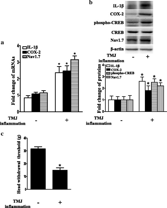 Upregulation of trigeminal ganglionic IL-1β, COX-2, phospho-CREB, and Nav1.7 accompanied with decrease in the head withdrawal threshold after induction of TMJ inflammation. a Upregulation of IL-1β, COX-2, and Nav1.7 mRNA expressions in TG after induction of TMJ inflammation for 24 h. Independent samples t test, * P