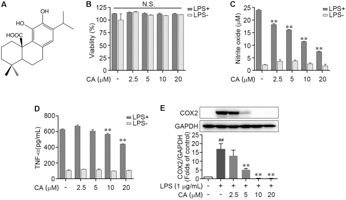 Carnosic acid down-regulated the levels of pro-inflammation mediators in LPS-induced RAW264.7 cells. (A) Chemical structure of carnosic acid (CA). (B,C) RAW264.7 cells were treated with various concentration of CA (2.5, 5, 10, and 20 μM) in the absence or presence of LPS (1 μg/ml) for 24 h. Then the cell viability (B) and nitric oxide production (C) were determined by MTT and Griess methods, respectively. (D) RAW274.7 cells were treated with CA and LPS as in (B,C) for 4 h, then the TNF-α level was detected by ELISA. (E) RAW264.7 cells were treated with 1 μg/ml of LPS containing CA (2.5, 5, 10, and 20 μM) or not for 24 h. The protein expression of COX2 was detected by western blot assay. Data are expressed as mean ± SEM from three individual experiments. ∗∗ P