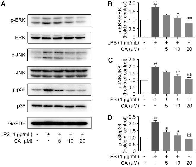 CA restrained the activation of ERK, JNK, and p38 MAPKs in LPS-challenged RAW264.7 cells. Cells were treated with LPS (1 μg/ml) with or without CA (5, 10, and 20 μM) for 1 h. (A) Phosphorylations of ERK, JNK, and p38 protein were determined by western blot assay. (B–D) Quantitative analysis for relative phosphorylation levels of ERK (B) , JNK (C) , and p38 MAPK (D) was performed by normalizing to the control group. Data are expressed as mean ± SEM from three individual experiments. ∗ P