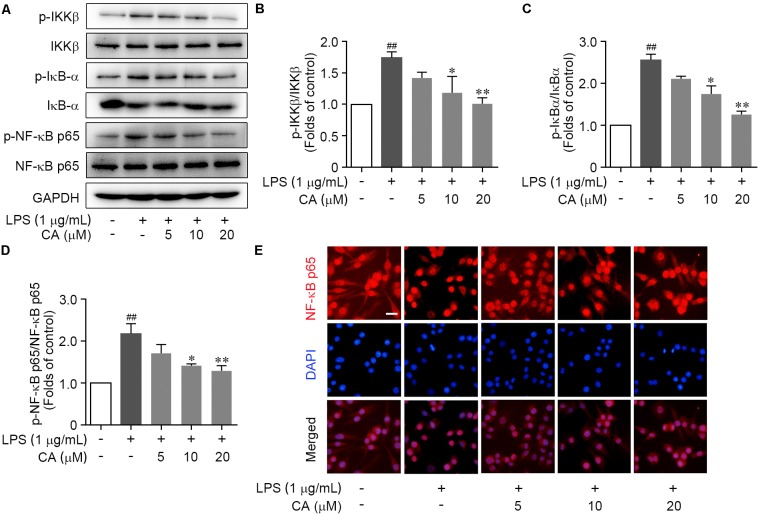 CA suppressed LPS-induced IKKβ/IκB-α/NF-κB signaling activation in RAW264.7 cells. Cells were treated with LPS (1 μg/ml) with or without CA (5, 10, and 20 μM) for 1 h. (A) Phosphorylation and total expressions of IKKβ, IκBα, and NF-κB p65 were determined by western blot assay. (B–D) Quantitative analysis for relative phosphorylation levels of IKKβ (B) , IκB-α (C) , and NF-κB p65 (D) was performed by normalizing to the control group. (E) The nuclear translocation of NF-κB p65 was detected by immunofluorescence assay. Representative images were displayed with NF-κB p65 (red) and nucleus (blue). Typical apoptotic neurons were labeled with white arrows. Scale bar = 40 μm. Data are expressed as mean ± SEM from three individual experiments. ∗ P