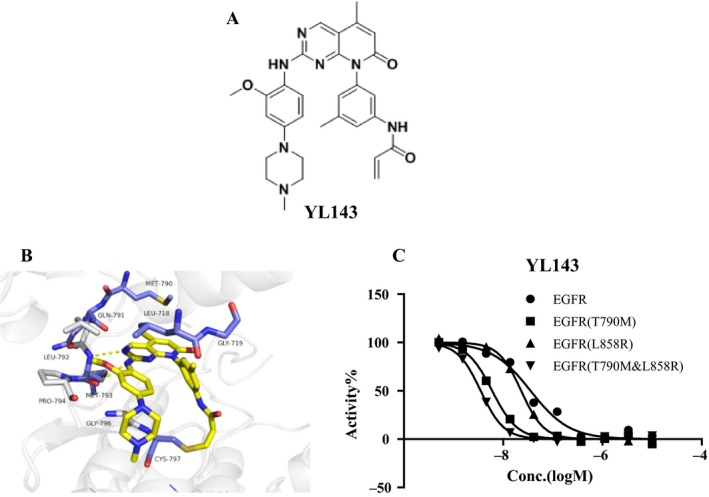 YL143 is a novel irreversible EGFR inhibitor. (A) Structure of YL143 and XTF262. (B) The binding mode of YL143 with EGFR predicted by the molecular docking simulations. (C) Kinase inhibitory activity of YL143 on EGFRWT, EGFRL858R, EGFRT790M and EGFRL858R/T790M by FRET‐based Z′‐Lyte assay.