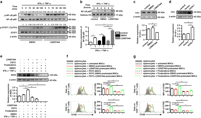 UCHL1 inhibition promoted the activation of NF-κB and STAT1 signaling. a After pretreatment with DMSO or LDN57444 (10 μM), murine MSCs were treated with IFN-γ plus TNF-α (10 ng/ml each) for the indicated time. Cells were harvested and NF-κB p65, STAT1, phosphorylation of NF-κB p65 and STAT1 at Tyr701 were analyzed by immunoblotting analysis. The densitometry of p-NF-κB p65 and p-STAT1 (Tyr701) was quantified using ImageJ software, and NF-κB p65 and STAT1 were used as controls, respectively. b After pretreatment with DMSO or LDN57444 (10 μM) for 24 h, murine MSCs were treated with or without IFN-γ plus TNF-α (10 ng/ml each) for 6 h. Nucleus protein of cells was harvested and NF-κB p65 was analyzed by immunoblotting analysis. c After pretreatment with DMSO or LDN57444 (10 μM) for 24 h, cells were harvested and IκBα expression was analyzed by immunoblotting analysis. d Control MSCs, vector-MSCs and UCHL1-MSCs were harvested, and IκBα expression was analyzed by immunoblotting analysis. e After pretreatment with DMSO or LDN57444 (10 μM) for 24 h, murine MSCs were pretreated with NF-κB inhibitor PDTC (1 μM) or STAT1 inhibitor Fludarabine (2 μM) for 6 h prior to IFN-γ plus TNF-α (10 ng/ml each) treatment for 24 h. Cells were harvested and iNOS expression was analyzed by immunoblotting analysis. f , g After pretreatment with DMSO or LDN57444 (10 μM) for 24 h, irradiated untreated, DMSO-pretreated or LDN57444-pretreated murine MSCs were pretreated with PDTC (1 μM) or Fludarabine (2 μM) for 6 h prior to co-culture with CFSE-labeled splenocytes for 3 days in the presence of anti-CD3/CD28 antibodies at the ratio of 40: 1. CD8 + and CD4 + T cells were collected for proliferation analysis by flow cytometry at the end of co-culture and MFI of CFSE of T cells were shown. Values are shown as mean ± S.E.M. and statistical significance indicated as * P