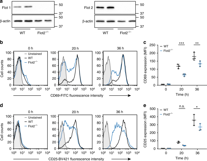 Flotillin expression is required for activation of mouse primary CD4 T cells. a Western blot of splenocyte lysate from WT and flotillin2 KO mice probed with antibodies against flotillin1 and flotillin2. b – e Representative flow cytometry histograms of CD4 T cells isolated from the spleen of WT or flotillin2 KO mice, activated on anti-CD3 and anti-CD28 surfaces for 20 and 36 h and stained with antibodies against CD69 ( b ) or CD25 ( d ). Mean fluorescent intensity (MFI) at the surface of 10,000 cells of WT and flotillin2 KO CD4 T cells stained with antibodies against CD69 ( c ) or CD25 ( e ). Data obtained from three mice for each condition. Error bars indicate mean (±SEM). * p