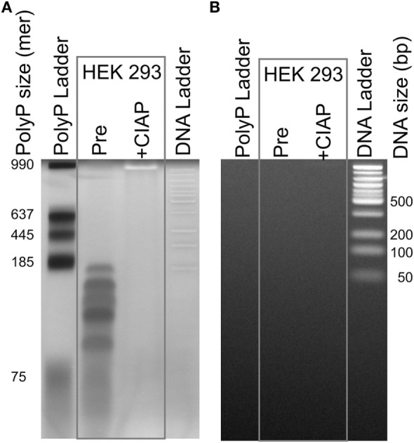 """Traces of polyphosphate (polyP) in cell-derived DNA. DNA isolated from HEK 293 cells using the DNeasy Blood Tissue kit was extensively digested with benzonase to hydrolyze the DNA, concentrated, and then resolved by electrophoresis on a 4–20% polyacrylamide gel. Samples were: a locally prepared polyP ladder (lengths indicated in phosphate units); DNA purified from HEK 293 cells and digested with benzonase (""""Pre""""); the same material following digestion with calf intestinal alkaline phosphatase (CIAP); and 50 bp DNA ladder. The same gel was stained sequentially, using: (A) DAPI with extended photobleaching to detect polyP ( 27 ) and (B) SYBR Green I to detect DNA (after removing DAPI by repeated rinsing). The material in the lane marked """"Pre"""" is clearly polyP as it photobleached rapidly (A) , was digested by CIAP (A) , and did not stain with SYBR Green 1 (B) ."""