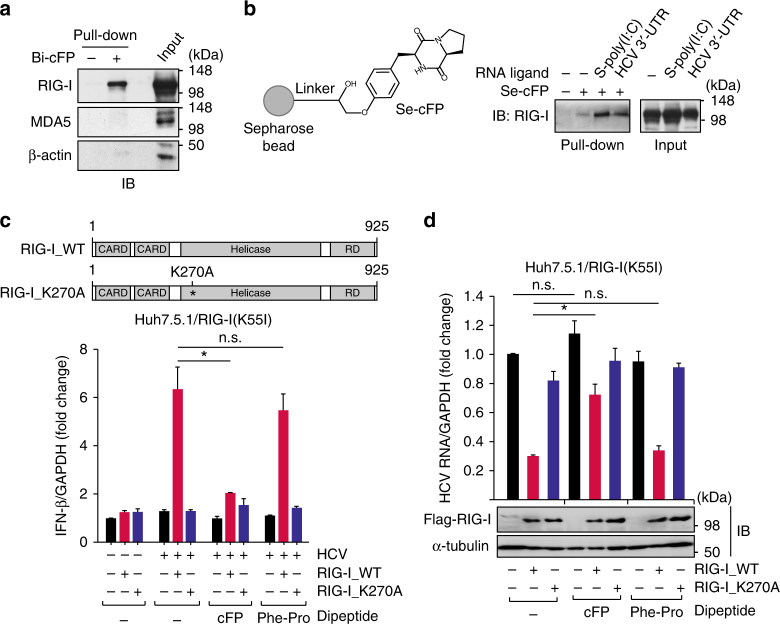 HCV-promoting activity of cFP is mediated through its specific interaction with RIG-I. a , b Immunoblotting analysis of cFP-interacting proteins pull-downed by biotinylated cFP bound to Streptavidin beads ( a ) or by non-modified cFP immobilized onto Sepharose beads ( b ). HEK293T cells, which were non-stimulated ( a ) or stimulated with the indicated RNA ligands ( b ) were used in pull-down experiments. c , d Quantification of IFN-β mRNA ( c ) and HCV genome ( d ) levels in Huh7.5.1 cells transfected with an empty vector or a vector expressing the wild-type RIG-I (RIG-I_WT) or its inactive mutant (RIG-I_K270A). After 18 h, the transfected cells were infected with HCV (JFH1) by incubation for 6 h and incubated further for 24 h in fresh media without or with the indicated peptides (2.5 mM) prior to RT-qPCR analyses. Statistical significance of differences between groups was determined via unpaired two-tailed t -test. * P ≤ 0.05; n.s., not significant