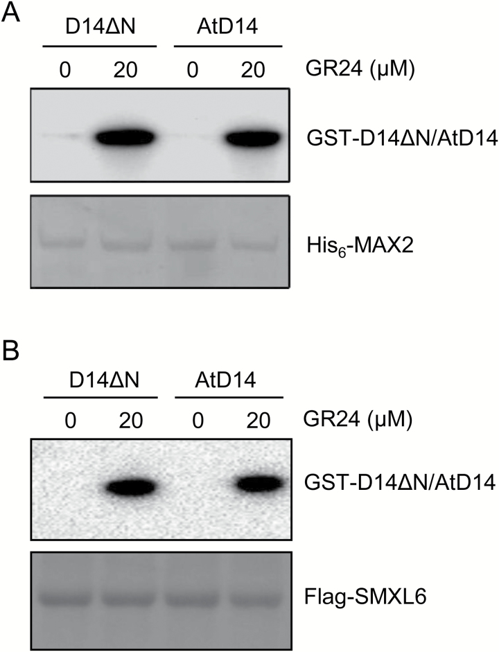 Rice D14 physically interacts with the Arabidopsis SL signaling components. (A) Rice D14 efficiently bound Arabidopsis MAX2 in the presence of rac -GR24. Pull-down assay using recombinant His 6 -MAX2 and GST–D14 or GST–AtD14 in the absence or presence of rac -GR24. GST-fused proteins were detected by anti-GST antibody and the PVDF membrane was stained with MemStain to show equal loading. (B) Rice D14 efficiently bound Arabidopsis SMXL6 in the presence of rac -GR24. Pull-down assay using recombinant Flag-SMXL6 and GST–D14 or GST–AtD14 in the absence or presence of rac -GR24. GST-fused proteins were detected by anti-GST antibody and the PVDF membrane was stained with MemStain to show equal loading.