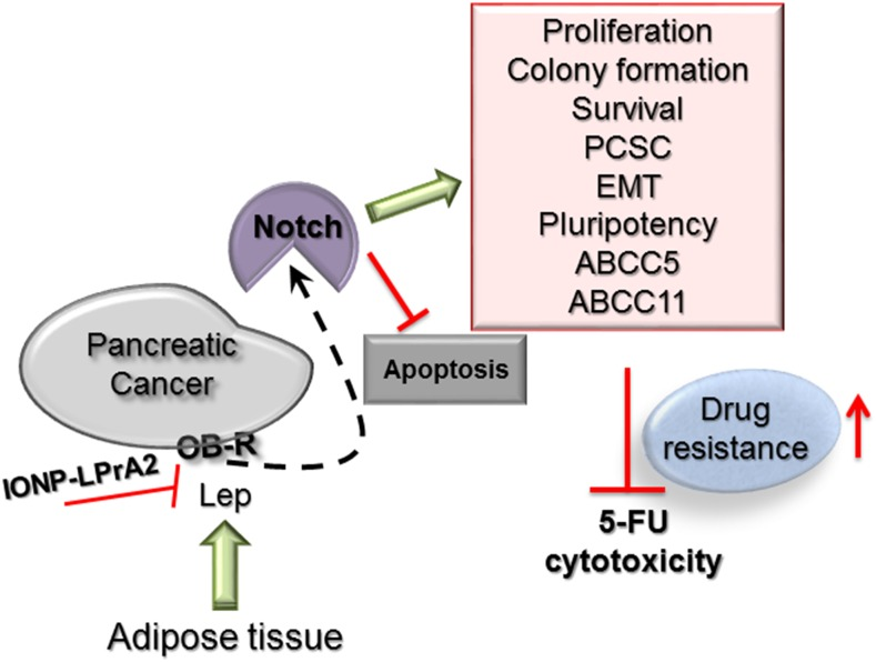 Leptin-Notch signaling axis negatively affects 5-FU cytotoxicity in PC tumorspheres Leptin binding to its receptor (OB-R) expressed by pancreatic cancer tumorspheres induces Notch levels and the number of Notch+ cells that in turn increases proliferation, colony formation, survival, PCSC (CD24+/CD44+/ESA+, c-Met+), EMT (VM+, N-cadherin+), pluripotency (Oct4+, Sox-2+, Nanog+) and ATP-binding cassette proteins (ABCC5+, ABCC11+). Leptin-induced Notch signaling was related to the decrease of 5-FU induced <t>apoptosis</t> (Annexin V+ cells, Caspase 3 activity, Bax, degradation of PARP) and increased levels of anti-apoptotic proteins (Bcl-XL, RIP). Leptin's effects were abrogated by the IONP-LPrA2 leptin signaling inhibitor.