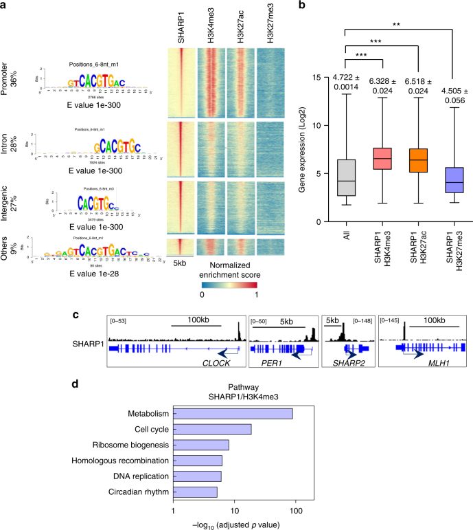 SHARP1 binds to actively transcribed genes and positively regulates target genes. a Integrated view of SHARP1 binding sites in conjunction with H3K4me3, H3K27ac, and H3K27me3 profiles across promoters, introns and intergenic regions. Top enriched motifs within SHARP1 ChIP-seq peaks in ML-2 cells are shown according to their genomic location discovered by peak-motifs module from the RSAT suite, using oligomer length ranging from 6 to 8 nucleotides and the 'merge lengths for assembly' option. b Box plot showing the expression levels in microarray analysis of ML-2 cells for the all genes (25293 genes) and genes enriched with SHARP1 + H3K4me3 (6459 genes), SHARP1 + H3K27ac (5840 genes), and SHARP1 + H3K27me3 (1055 genes) identified in ChIP-seq analysis. The box extends from the 25 th to 75 th percentiles and the whisker extends from the minimum level to the maximum. Median value is plotted in the box. c Representative SHARP1 binding peaks in the known target gene loci (circadian clock genes and MLH1 ). d Pathway analysis for the genes in the SHARP1 and H3K4me3 co-bounded regions within the promoter and gene body