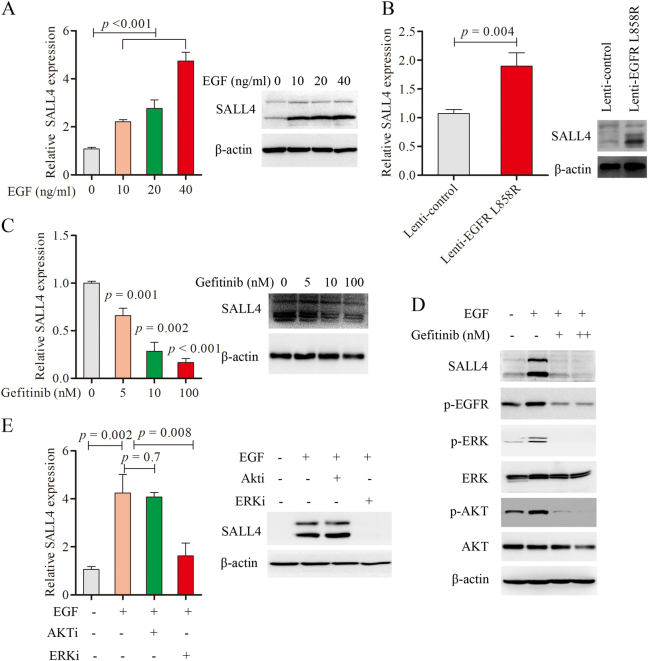 EGFR signaling activated by the ligand EGF stimulation and EGFR L858R point mutation induced the expression of SALL4 through ERK1/2 pathway. a qRT-PCR analysis of SALL4 expression in Beas-2B cells treated with different dose of EGF (0, 10, 20, and 40 ng/ml) for 30 min and the protein level of SALL4 was detected by Western blotting. b qRT-PCR and western blotting analysis of SALL4 expression in Bease-2B cells infected with Lenti-control and -EGFR L858R. c qRT-PCR and Western blot analysis of SALL4 expression in PC9 treated with different doses of Gefitinib (0, 5, 10, 100 nM) for 48 h respectively. d The protein level of SALL4, p-EGFR, p-ERK, ERK, p-AKT, and AKT in PC9 cells treated with Gefitinib (100, 500 nM) for 48 h, and β-actin was selected as a control. e The mRNA and protein level of SALL4 in PC9 cells, which were treated with 1 μM ERK inhibitor (SCH772984) and 2 μM AKT inhibitor (MK-22062HCL) for 72 h. Representative results from three independent experiments are shown (mean ± s.d.)