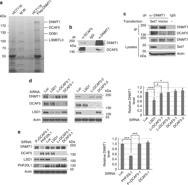 Regulation of DNMT1 protein stability by DCAF5. a Isolated DNMT1 protein complexes contain DDB1, DCAF5, and L3MBTL3 proteins (see Supplementary Table 1 for additional information). The Flag-knock-in DNMT1 protein complexes were isolated from HCT116-Flag-DNMT1 cells by anti-Flag M2 antibody affinity resins or from control HCT116 cells without the Flag-DNMT1. The proteins associated with the isolated Flag-DNMT1 complexes were separated in protein gel, excised, trypsinized, and derivative peptides were fractionated by nano-liter liquid chromatography and identified by <t>mass</t> <t>spectrometry.</t> The positions of some proteins associated with the DNMT1 complex are shown. MW: molecular weight markers. b Endogenous DCAF5 and DNMT1 proteins interact with one another. DCAF5 and DNMT1 from HCT116 cells were immunoprecipitated and detected by western blot analyses as indicated. Experiments were repeated three independent times with the same conclusion. c The interaction between DNMT1 and DCAF5 is enhanced by SET7 expression. The SET7 expressing or empty control vectors were transfected into HCT116 cells for 48 h, treated with proteasome inhibitor MG132 (5 μg/ml) for last 6 h, and interactions between DNMT1 and DCAF5 were analyzed by co-immunoprecipitation and western blotting analyses. d Downregulation of DCAF5 prevents DNMT1 degradation triggered by LSD1 deficiency. HCT116 cells were transfected with 50 nM of luciferase siRNA and two independent DCAF5 siRNAs in the presence or absence of LSD1 (LSD1 or L) siRNA. The protein levels of DNMT1, DCAF5, actin, and LSD1 were examined in total <t>cell</t> <t>lysates</t> by western blotting using indicated antibodies and quantified. The P value of LSD1 to control (Luc) siRNAs was calculated by independent Student's t-test and the P values of double to single knockdowns were calculated by paired Student's t -test. * P