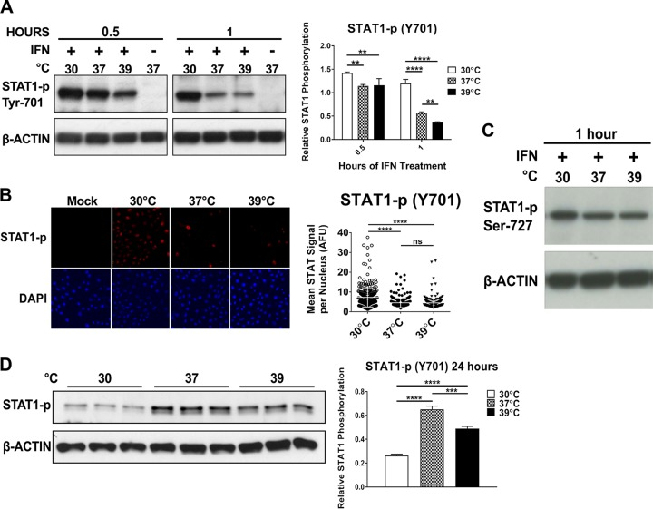 Suppression of type I IFN signaling pathways is not associated with early temperature effects. (A, C, and D) Immunoblot assay of <t>STAT1</t> phosphorylated at Tyr-701 (A and D) or <t>Ser-727</t> (C) from Vero cells treated with 1,000 IU/ml IFN-α/β at 30, 37, or 39°C and corresponding densitometry quantification with STAT1-p bands normalized to β-actin. Data are presented as mean STAT1-p/actin ratio ± SD. (B) Vero cells treated with 1,000 IU/ml IFN-α/β for 30 min at 30, 37, or 39°C were subjected to immunocytochemistry staining for STAT1-p (Y701). Confocal imaging shows phosphorylated STAT1 nuclear translocation. Graph displays average nuclear STAT1-p signal intensity per imaged nuclear area at each temperature. At least 199 cells/nucleus were analyzed in each temperature group. Statistics for panel A: **, P