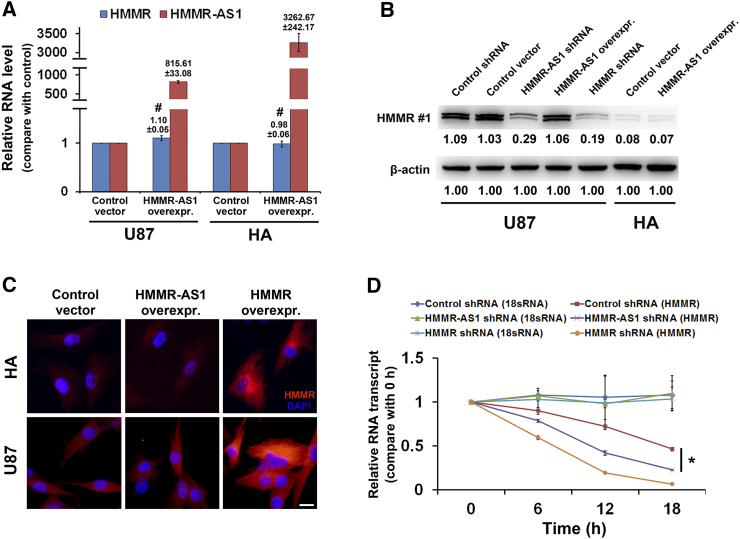 HMMR-AS1 stabilizes HMMR mRNA. (A) Relative levels of HMMR-AS1 and HMMR mRNA in U87 and HA cells transfected with lentivirus containing HMMR-AS1 full-length sequence compare with control. (B) HMMR protein expression tested by Western blot in cells that HMMR-AS1 was downregulated or upregulated. (C) HMMR protein expression tested by immunofluorescence in control cells or cells with HMMR-AS1 or HMMR overexpression. Scale bar = 10 μm. (D) U87 cells differently transfected were treated with 50 μM α-amanitin for 6, 12, or 18 hours. Cells were then harvested for <t>qRT-PCR</t> to test the loss of HMMR mRNA. 18s <t>RNA,</t> a product of RNA polymerase I, was not affected by α-amanitin. Cells transfected with HMMR shRNA were used as positive control. β-Actin was used as a loading control for Western blot. The blot bands were quantified by ImageJ and represented by relative values compare with loading control (1.00). # P > .05, * P