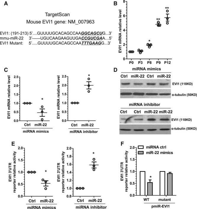 EVI1 is the novel target of miR-22 in VSMCs. A , The predicted miR-22 binding site within EVI1 3′-UTR by Targetscan. EVI1, miR-22 sequence (mmu-miR-22), and the miR-22 binding site mutant (EVI1 mutant) are depicted in this illustration. The mutation site in EVI1 mutant and corresponding sequences in wild-type EVI1 and mmu-miR-22 are underlined and bold. B , EVI1 was upregulated in the extended cultured VSMCs. Each dot represents EVI1 mRNA level in each passage (P3, P8, P9, P12) normalized to EVI1 mRNA level of P0. C and D , EVI1 was negatively regulated by miR-22. VSMCs transfected with miR-22 mimics, inhibitor, or respective controls (Ctrl), as indicated, were subjected to serum starvation for 48 hours. Total RNA and protein were harvested and subjected to RT-qPCR ( C ) and Western blot ( D ) analyses, respectively. E , miR-22 repressed EVI1 3′-UTR reporter activity. miR-22 mimics, inhibitor, or respective controls (Ctrl) were cotransfected with EVI1 3′-UTR reporter into VSMCs, as indicated. Transfected cells were subjected to serum starvation for 48 hours, and cell lysates were subjected to luciferase activity assay. F , miR-22 binding site was required for miR-22–mediated EVI1 gene repression. miR-22 mimics or control miR mimics (miRNA ctrl) were cotransfected into VSMCs with wild-type reporter (pmiR-EVI1-WT) or the reporter containing mutated miR-22 binding site (pmiR-EVI1-mutant). Transfected cells were subjected to serum starvation for 48 hours before luciferase activity assay. Data and error bars in B through F are representative ( D ) or mean±SEM ( B , C , E , and F ) (n=4 in D and F ). * P