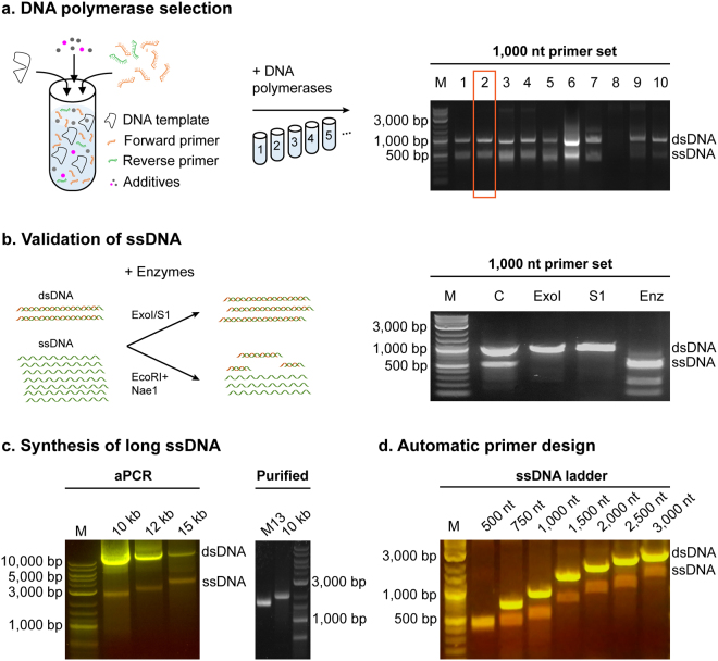 ssDNA production by aPCR. ( a ) aPCR reactions were assembled with a 50-molar excess of a forward primer for the amplification of a 1,000 nt ssDNA fragment using the M13mp18 ssDNA plasmid as template, and with 10 different polymerases that were tested for highest yield of ssDNA production (upper band: expected dsDNA size is 1,000 bp; lower band: expected ssDNA size is 1,000 nt) as judged by agarose gel electrophoresis (right panel). QuantaBio AccuStart HiFi, polymerase (lane 2, boxed) produced the highest amount without overlapping dsDNA contaminants. 1. Accustart; 2. Accustart HiFi; 3. Accustart II; 4. AccuPrime; 5. GoTaq; 6. DreamTaq; 7. Phusion; 8. Platinum SuperFi; 9. Q5; 10. Tth polymerase. ( b ) Biochemical validation of ssDNA production by incubating 1,000 nt aPCR reaction products with the ssDNA-specific ExoI or S1 nucleases or dsDNA-specific restriction enzymes Eco RI and Nae I (left panel). Agarose gel electrophoresis of the digestion products as labeled by lane (right panel). M: Marker, C: aPCR product control, ExoI: exonuclease I, S1: S1 nuclease, Enz: Eco RI + Nae I. ( c ) NEB LongAmp was used to generate ssDNA up to 15,000 nt long using lambda phage dsDNA as template. Purification of the 10 kb fragment shows a single band of higher molecular weight than the M13mp18 ssDNA (7,249 nt). ( d ) The primer design algorithm aPrime was used to select primers for product sizes between 500 and 3,000 nt using M13mp18 ssDNA as template and the Quantabio Accustart HiFi enzyme. SYBR Safe stained agarose gels illuminated under blue light show dsDNA as yellow bands, while ssDNA show as orange bands.