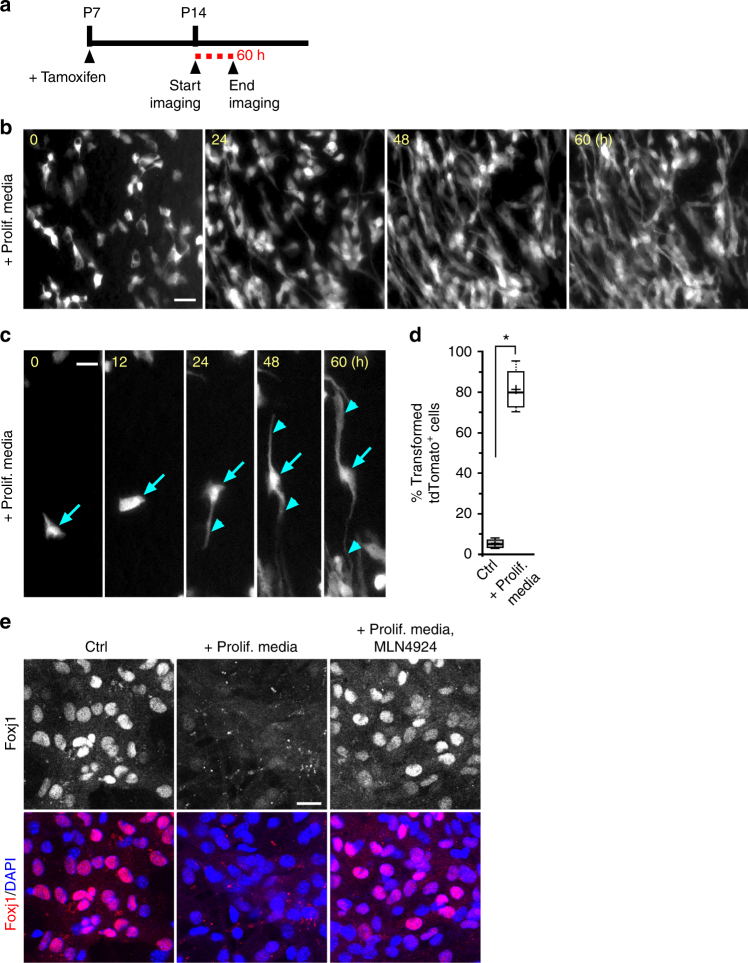 Ex vivo live imaging of mature ependymal cell transformation. a foxj1 CreERt2/+ ; R26R-tdT mice tamoxifen induction and wholemount imaging (dashed red line) schedule. b Representative time-lapsed images from foxj1 CreERt2/+ ; R26R-tdT ependymal wholemount sample cultured in high serum proliferation media (Prolif. media) condition. Note the cellular transformation of tdTomato + ECs over time. c Representative close-up view of individual tdTomato + EC in Prolif. media condition, showing morphological transformation over time, with radial glial-like processes (arrowheads) emanating from cell body (arrows). d Quantification of transformed tdTomato + EC numbers for control (Ctrl) and Prolif. media conditions. * P