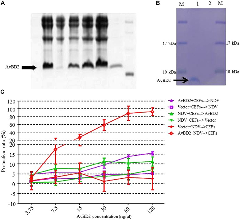 Recombinant expression of AvBD2 protein and antiviral activity of AvBD2 against NDV. (A) 12% SDS–PAGE analysis of His-tagged recombinant AvBD2 protein expressed in E . coli BL21 (DE3) cells. Lane 1: Supernatant; lane 2: Inclusion body; lane 3: Total protein of Rosetta containing AvBD2 without IPTG induction; lanes 4–6: Total protein of Rosetta containing AvBD2 at 2, 4, 6 h after induction with IPTG, respectively; lane 7: Purified recombinant AvBD2 protein; lane M: Protein marker. (B) 12% SDS–PAGE analysis of His-tagged AvBD2 protein expressed in Expi293 cells. Lane 1: purified AvBD2 with a His-tag on the C-terminal; lane 2: purified vector with a His-tag on the C-terminal; lane M: protein molecular weight marker. (C) Protection of CEFs from NDV infection by using the CCK-8 assay. Red curve , NDV (1 MOI) and AvBD2 protein (3.75–120 ng/μl) were mixed for 1.5 h at 37°C. Cells were washed and then incubated with the NDV-AvBD2 protein mixture for another 1.5 h at 37°C. Green curve , NDV (1 MOI) and equal volume of PB were mixed and then incubated with CEFs for 1.5 h at 37°C. Cells were washed and incubated with AvBD2 protein and equal volume of DMEM without serum for another 1.5 h. Purple curve , AvBD2 protein (3.75–120 ng/μl) and equal volume of DMEM without serum were mixed to incubate with CEFs for 1.5 h at 37°C. Cells were washed and then the mixtures of NDV (1 MOI) and equal volume of PB were added and incubated with CEFs for another 1.5 h at 37°C. Then, the cells were washed, and 2% DMEM were added and incubated for 48 h at 37°C. Then CCK-8 solution (5 mg/ml, 10 μl/well) was added to the plate. The absorbance at 450 nm was measured using a <t>microplate</t> reader after the incubation at 37°C for 1.5 h. The vector was used as control for each group. Cells without virus-protein mixture were also used as a negative control. Cells only infected with the virus served as a positive control. The experiment was performed in triplicate.