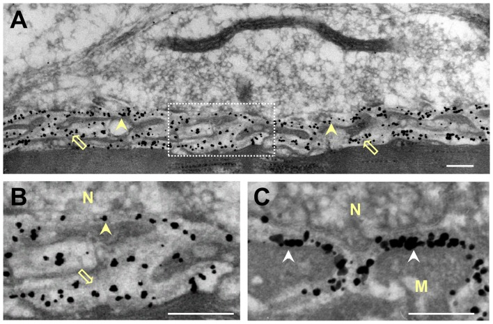 Distribution of gold-labeled AChE sites in the synaptic cleft of the frog NMJ. Frog cutaneous pectoris muscles were incubated with nanogold (1.4 nm) conjugated directly with Fas to label AChE (A,B) , or with biotin-α-bungarotoxin followed by nanogold-streptavidin to label nAChR (C) . (A) Nanogold-Fas conjugate labeled exclusively the NMJs, within both the PC and the PJFs. (B) An enlarged synaptic area (framed in A ) shows the association of the gold-labeled AChE sites with the BL in both the PC and the PJFs. (C) In contrast, labeling of nAChR sites with the nanogold-α-bungarotoxin conjugate is seen to be at the crests and mouths of the PJFs. N, nerve; M, muscle; Arrowheads, labeled AChE in PC; Hollow arrows, labeled AChE in PJF; White arrowhead in (C) , labeled nAChR (on postsynaptic membrane). Bars, 0.2 μm.
