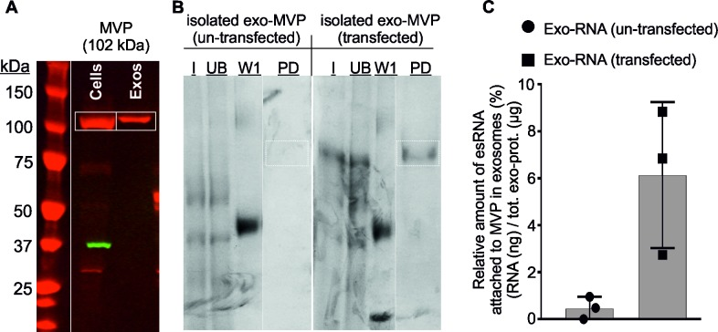 Validation of MVP. Transfected cells are expressing MVP-biotin and un-transfected cells were used as negative control. (A) Western blot analysis for the detection of MVP in HEK293F cell lysate and exosomal protein extracts shows that plasmid (MVP-biotin) was successfully expressed in HEK293F cells and was partitioned into exosomes isolated from these transfected cells. ( B ) Protein samples from different stages of MVP purification were separated by SDS-PAGE and the protein bands were detected by Comassie staining. After the pull down assay, the presence of MVP within exosomes was confirmed, i.e. MVP in exosomes from biotinylated MVP-transfected cells PD (pull-down lane), whereas it was absent in exosomes from untransfected cells. The position of the MVP-biotin band is indicated by squares. A representative experiment out of 3 is shown. ( C ) Total amount of RNAs coupled to MVP were extracted and quantified by Quant-iT™ RiboGreen® RNA Assay Kit (ThermoFisher Scientific). Captured RNA was expressed as a percentage of RNA eluted from the beads after the pull-down respect to the total RNA incubated with the beads. Exosomal-MVP was coupled with RNAs and the quantification of RNAs that had co-eluted with MVP showed that the amount of RNA present in the MVP elute (i.e. from MVP-RNA complex) was significantly higher than that from the untransfected control. The experiment was performed in 3-replicates and the graph shows the range of values and median (grey). Average and standard error of three independent experiments are shown. Samples: W = proteins from different wash steps during the MVP purification, and PD = pull-down proteins (MVP) after elution, I = input, and UB = unbound after RBP capture.