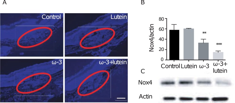 Effects of ω-3 LCPUFAs and lutein on Nox4 expression in the choroid-retina. ( A ) Representative images of Nox4 immunofluorescence (blue) in RPE-choroid sections prepared from mice of the four experimental groups at 7 days after laser photocoagulation. Red ovals enclose the lesion area. Scale bar, 100 μm. ( B ) The amount of Nox4 in the retina isolated from mice of the four experimental groups at 7 days after laser photocoagulation was determined by densitometric scanning of immunoblots. Data were normalized by the abundance of β-actin and are means ± SEM of triplicate determinations for a pooled sample. ** P